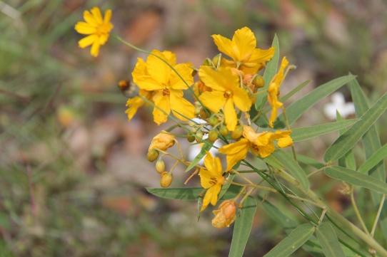 Two-Leaf Senna-Senna roemeriana2