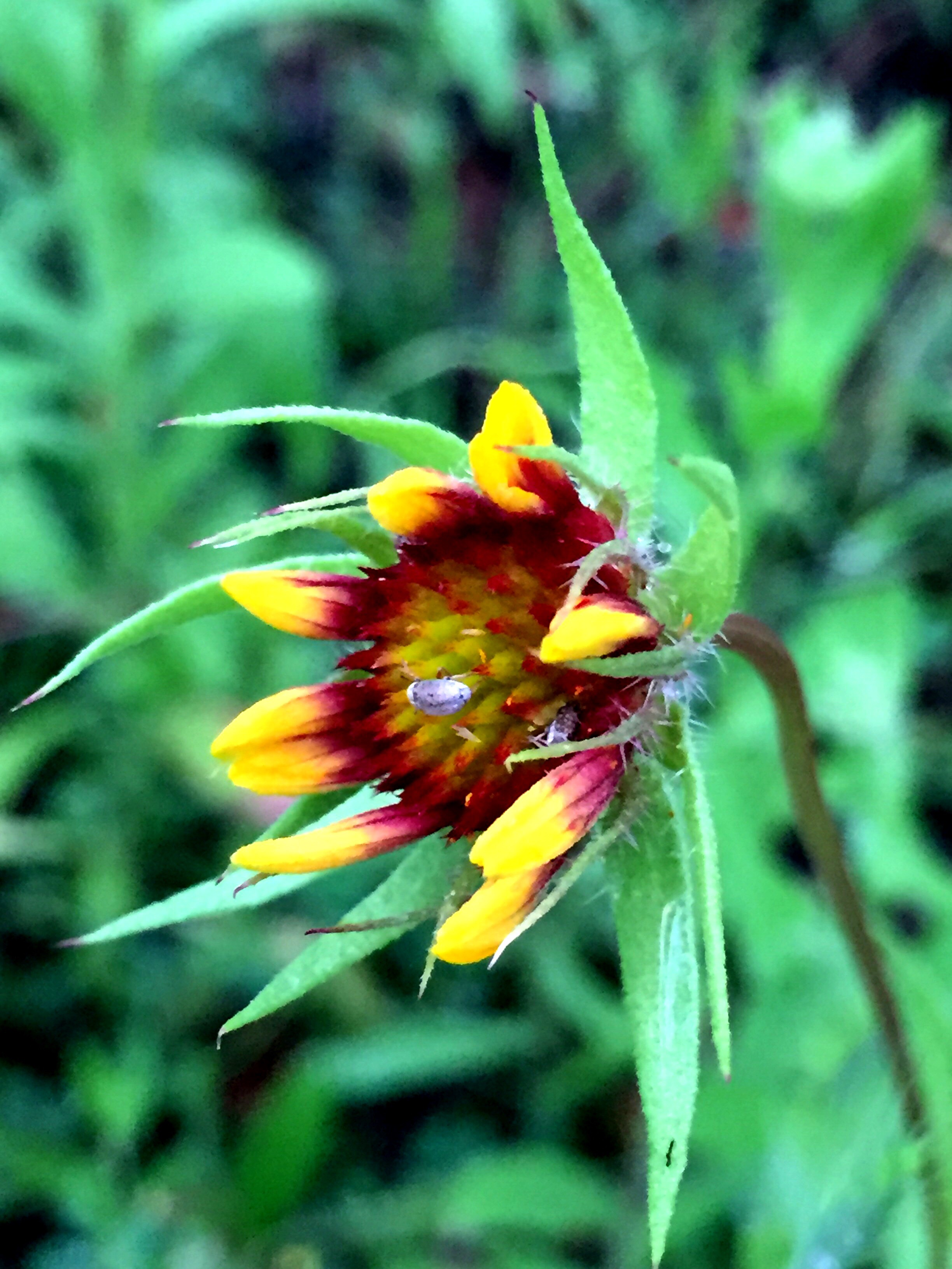 gaillardia  indian blanket flower