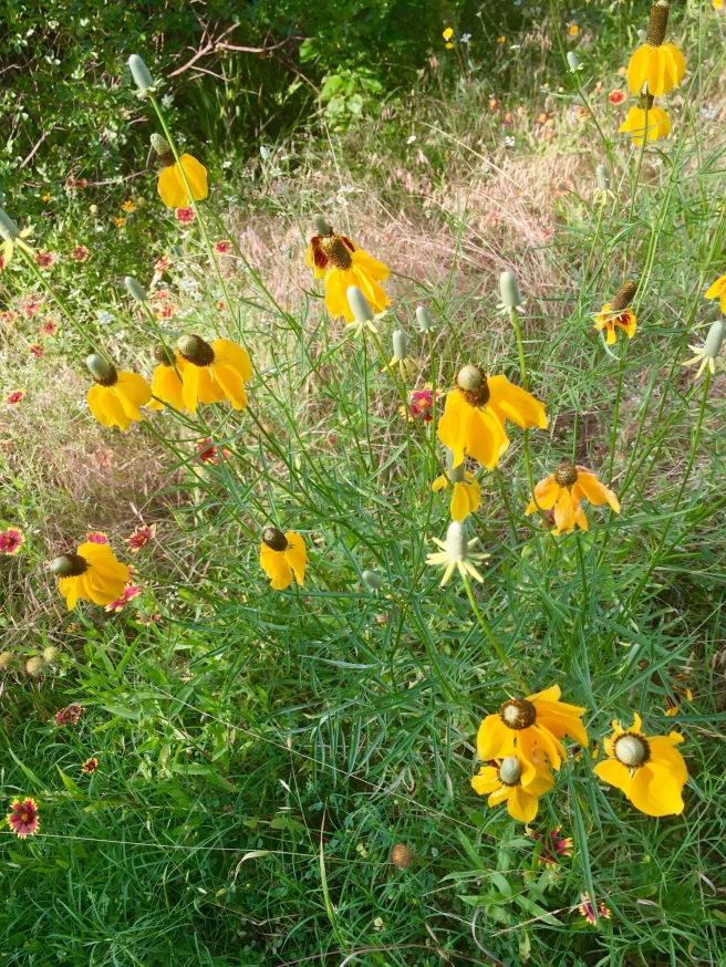 solid yellow columnifera ratibida